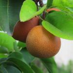 Choioro Pear