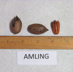 Amling Pecan