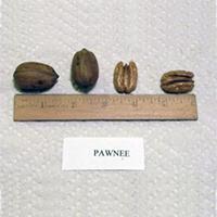 Pawnee Pecan Trees