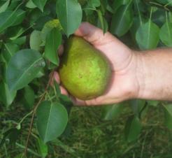 European Pears