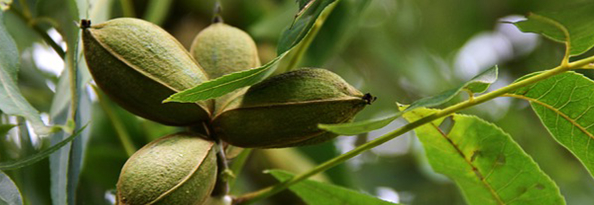 Northern Pecan Trees