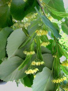 Tilia americana - American Basswood