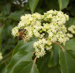 Korean Bee Bee Tree