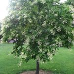 Growing the Sourwood Tree