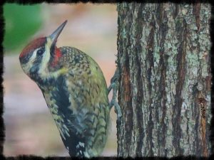 The Sapsucker and the Maple Tree