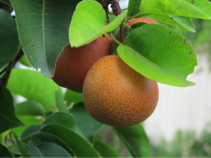 Growing Pears in the Mid-South