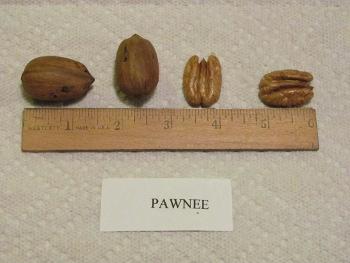 Pawnee Pecan
