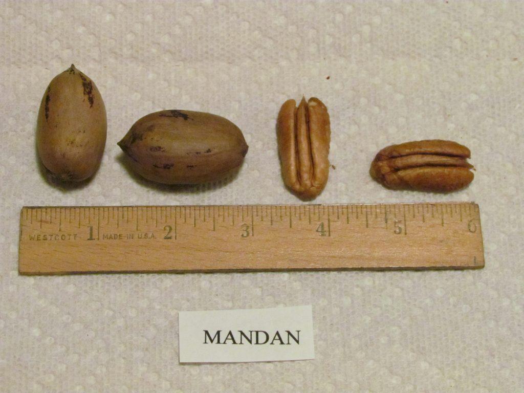 Mandan Pecan