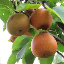 Fruit Trees- Native and Traditional