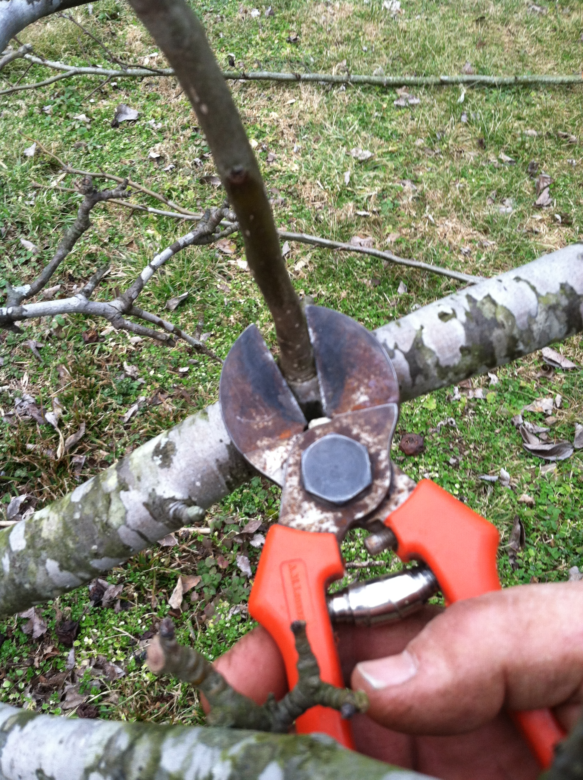 Delay Pruning To Avoid Winter Injury