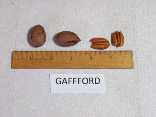 Gafford Pecan