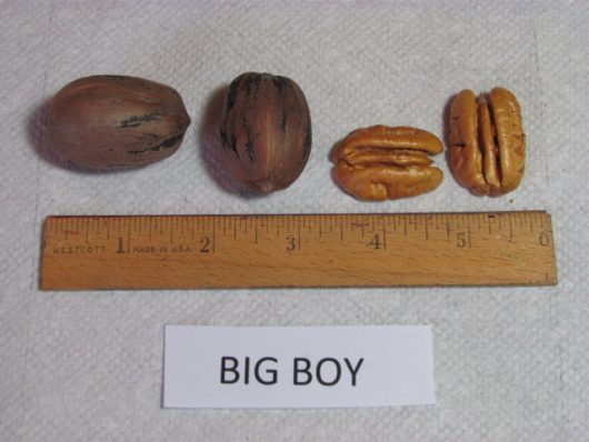 Bean Pecan aka Big Boy