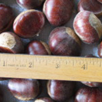 Chinese Chestnut