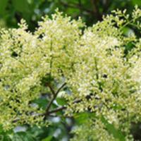 Ivory Silk Tree Lilac