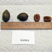 Kanza Pecan