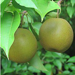 Korean Giant Pear