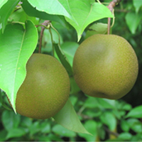 Korean Giant Pear