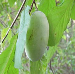 Sunflower PawPaw