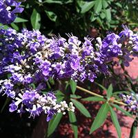 Vitex Agnus castus in bloom