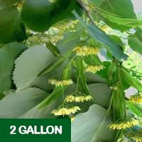 American Linden – 2 gallon