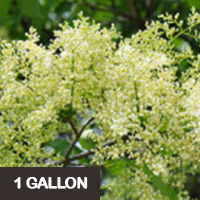 Ivory Silk Tree Lilac – 1 gallon