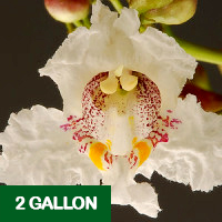 Northern Catalpa – 2 gallon