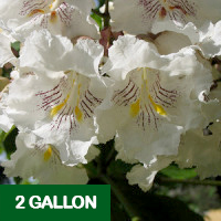 Southern Catalpa – 2 gallon