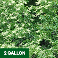 Sourwood – 2 gallon