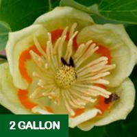 Tulip Poplar – 2 gallon