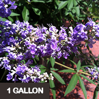 Vitex- Shoal Creek – 1 gallon