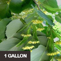 American Linden – 1 gallon