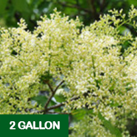 Ivory Silk Tree Lilac – 2 gallon