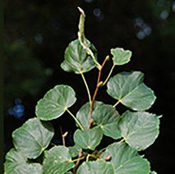 Little Leaf Linden
