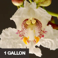 Northern Catalpa – 1 gallon