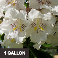 Southern Catalpa – 1 gallon