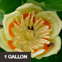 Tulip Poplar 1 gallon