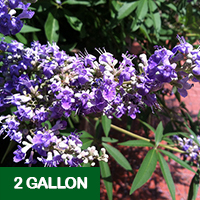 Vitex Shoal Creek – 2 gallon