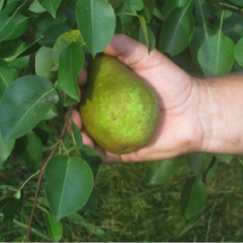 Magness Pear