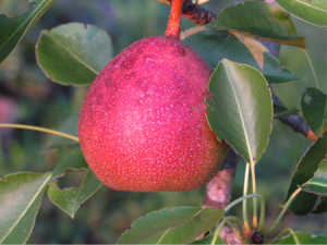 Apples or Pears?