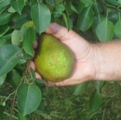 Pear Trees – 1 gallon