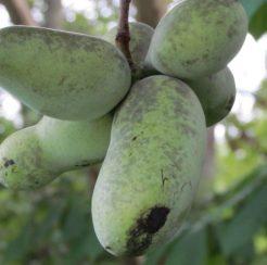 PawPaw Seedlings- Asimina triloba