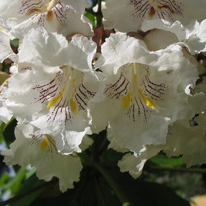 rsz_southern_catalpa_flower_jpeg
