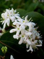 Seven Sons flower Cluster
