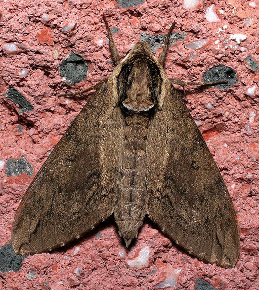 Catalpa Sphinx Moth