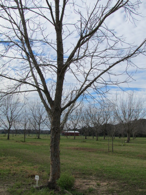 The Lonely Pecan Tree