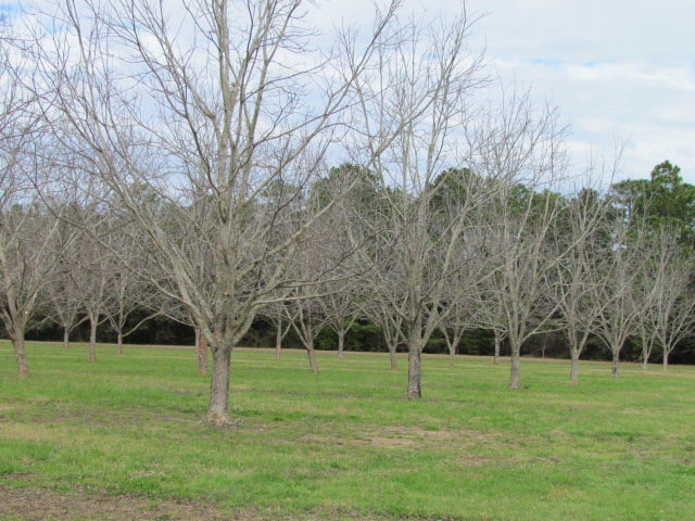 Pecan Trees In Every Yard
