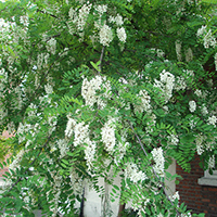 Black Locust Tree- 2 gallon