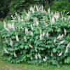 Bottlebrush Buckeye- Aesculus parviflora