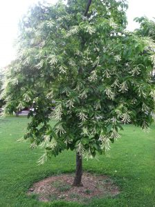Growing the Sourwood Tree- Challenges
