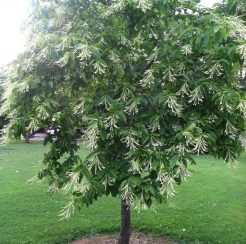 Sourwood Tree